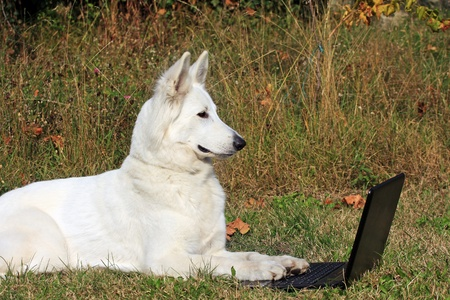 white dog at work on the laptop