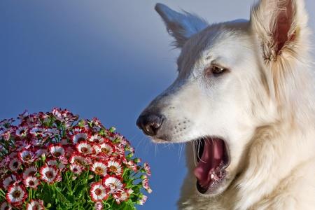 A white swiss shepherd dog is sneezing because of pollen allergy Standard-Bild