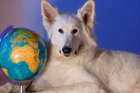 white shepherd dog: Cane da pastore bianco svizzero � vicino a un globo Archivio Fotografico