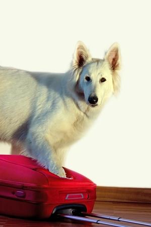 white shepherd dog: Cane da pastore bianco svizzero � vicino a una valigia rossa