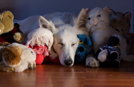 stuffed animals: Swiss white shepherd dog is sleeping close to toys