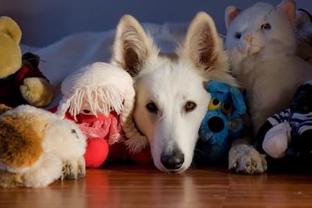 Swiss white shepherd dog is sleeping close to toys