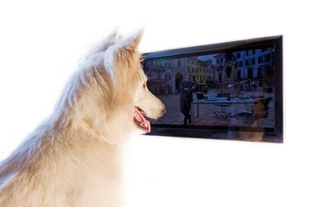 white dog is watching Tv