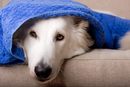 swiss white shepherd dog under a towel