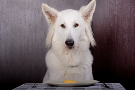 swiss white shepherd dog is eating with a dish