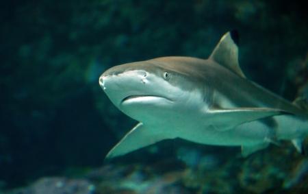 sand tiger shark  Standard-Bild