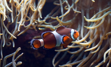 Clownfish in anemone home  photo