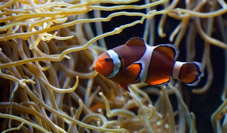 Clownfish in anemone home Stock Photo - 13812971