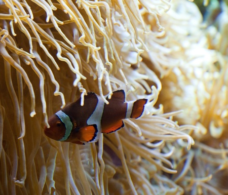 Clownfish in anemone home  Stock Photo - 13812957