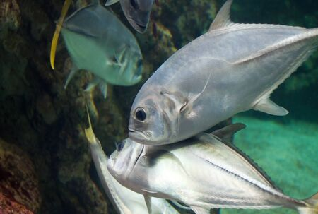 moonfish swim around mangrove tree roots  Stock Photo - 13813028