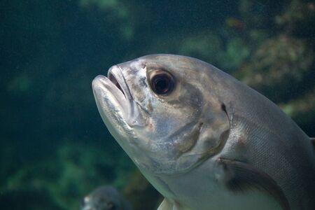 moonfish swim around mangrove tree roots Stock Photo - 13812972