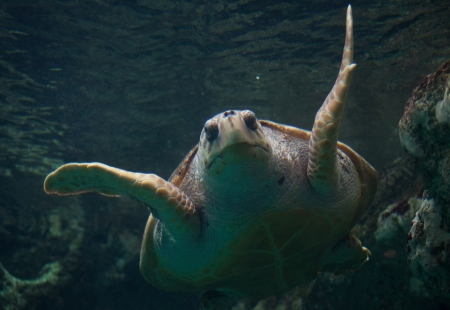 aquarium visit: Loggerhead sea turtle  Stock Photo
