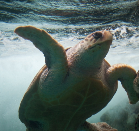 Loggerhead sea turtle  Stock Photo
