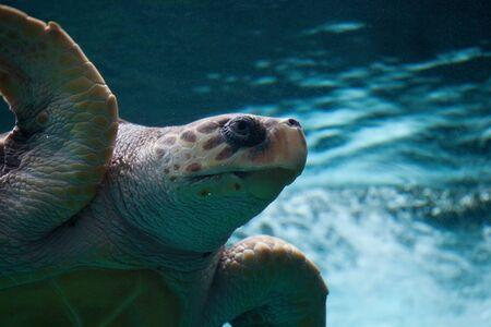 aquarium visit: Loggerhead sea turtle  Stock Photo