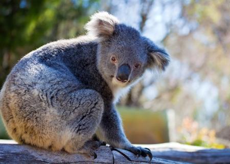 Sweet koala in western Australia