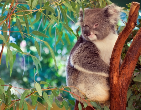perth: Sweet koala in western Australia