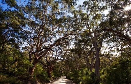 karri: Karri forest in Margaret river, western australia