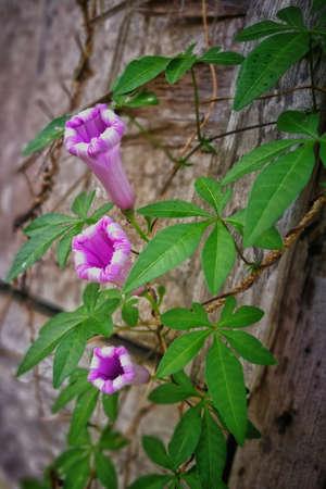 Triplet Purplish Flower Stock Photo