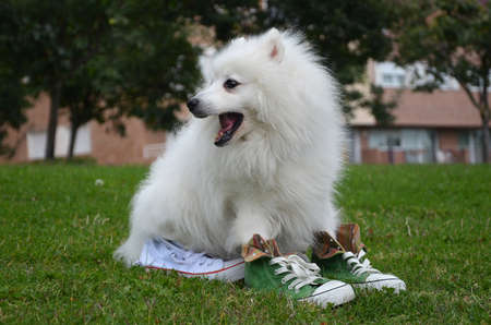 Japanese Spitz dog in sports shoes with open mouth is sitting on the grass