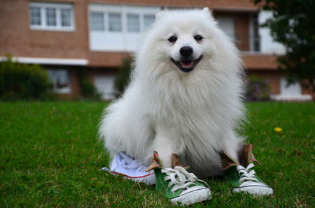 Japanese Spitz dog in sports shoes sitting on the grass, close-up