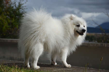Japanese Spitz is on a stone fence, side view