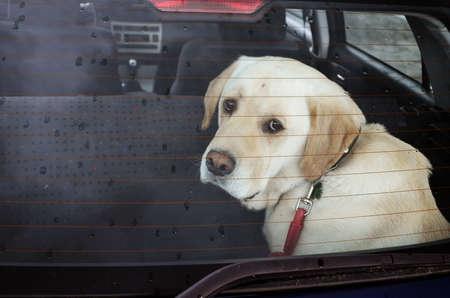 perro triste: triste perro en el coche bajo la lluvia