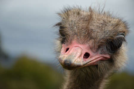 chordates: Ostrich head with half-turn to the left close-up