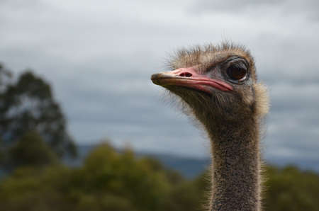 chordates: Ostrich head looking to the left on a background of park