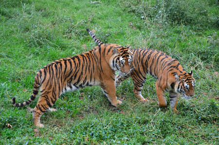 striding: two tiger tranquil striding across green grass