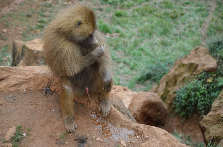 pissing: pissing male monkey cleans its fur from insects Stock Photo