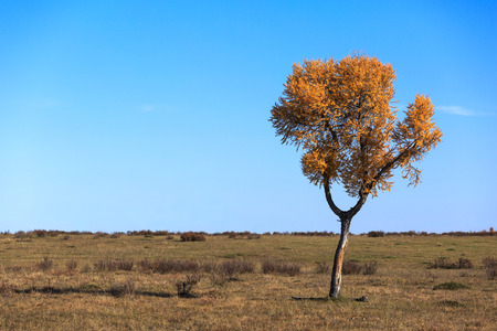 larch tree: Lonely tree standing in a field, clear autumn day.
