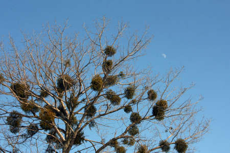 crone: Crone of a tree with evergreen plants which parasitize on branches against the moon