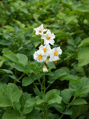 White potato flower on a background of green leaves