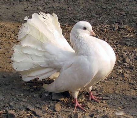 White dove sits on the ground