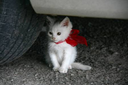 White kitten with a red ribbon tied bow