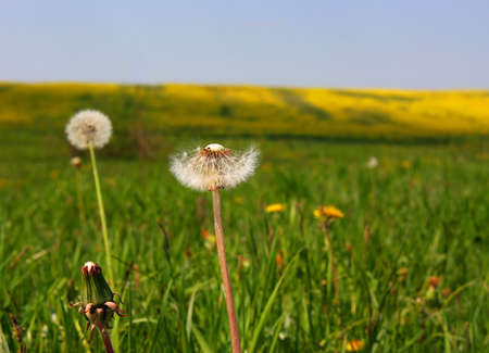 Dandelion blowing seeds in meadow at summer photo