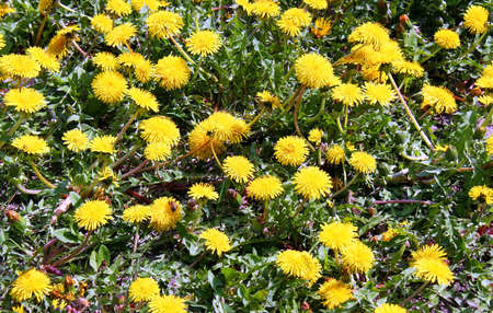 Yellow dandelion flowers can be used as background