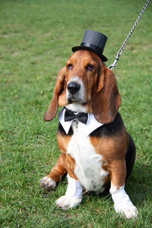 Gentleman basset hound wearing old-fashioned black hat and tie like a gentleman on the green grass photo