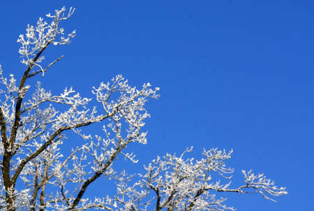 crone: Tree crone in hoarfrost against the backdrop of bright blue sky Stock Photo