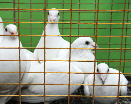 White doves closed in cage
