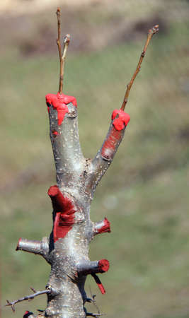 Grafted apple tree in orchard