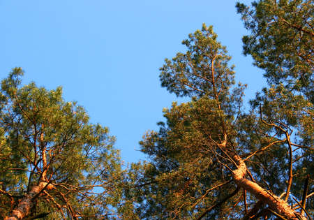 Pine trees against the sky photographed from below