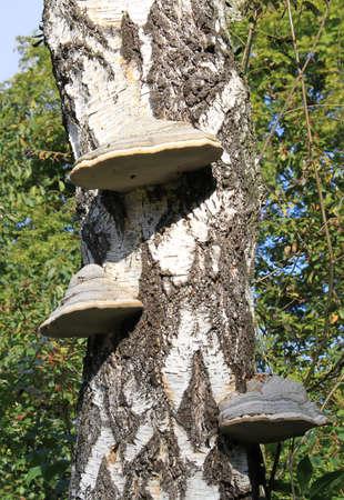 Chaga mushroom on the birch