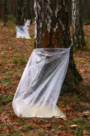 Harvesting birch sap in the woods Stock Photo
