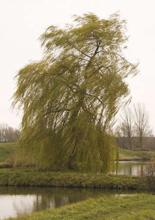 weeping willow: Weeping willow tree on the bank of a pond in the autumn