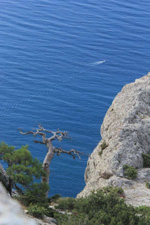 relict: Dead relict Crimean pine on a rock above the sea Stockfoto