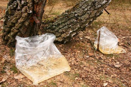 sap: Gathering of birch sap in a spring wood