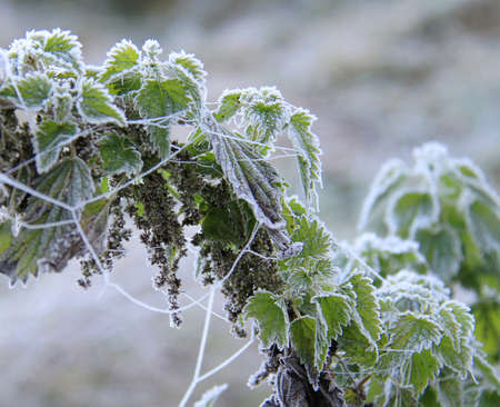 web2: Frosted spider web nettle leaves in a meadow Stock Photo