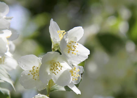 day flowering: Branches of flowering apple tree on a sunny day