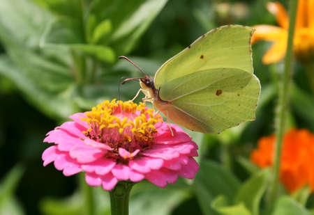 green butterfly: Light green butterfly sits on flowers in garden